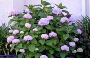 világos lila hortenzia